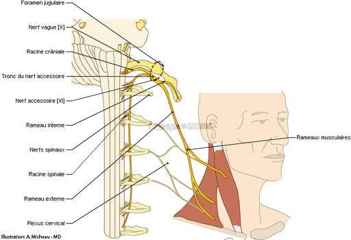 Les 12 paires de nerfs craniens pdf